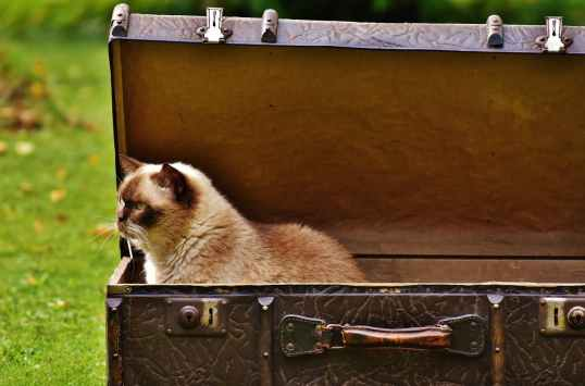 white and brown siamese cat inside chest box